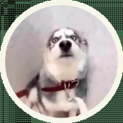 Husky - Sticker 6