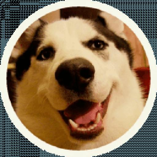 Husky - Sticker 9