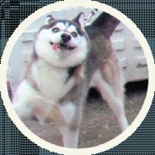 Husky - Sticker 1